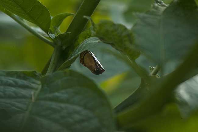 Monarch chrysalis empty