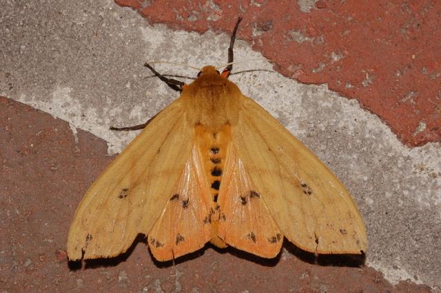 Tiger moth or Pyrrharctia isabella