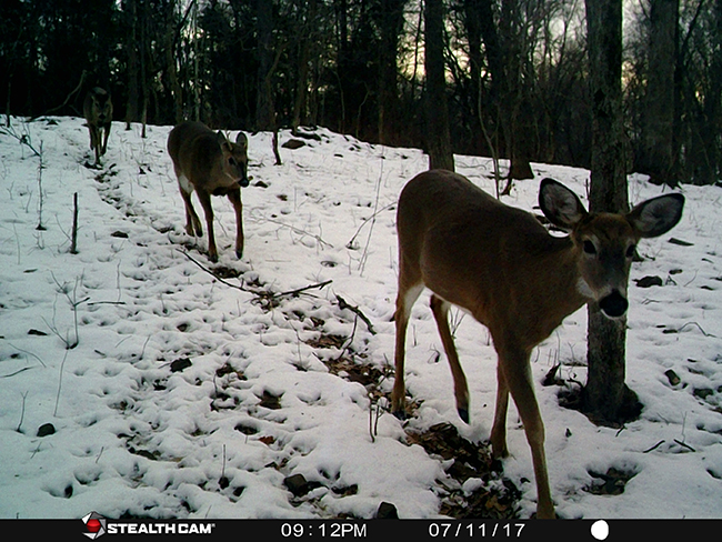 Deer in a line
