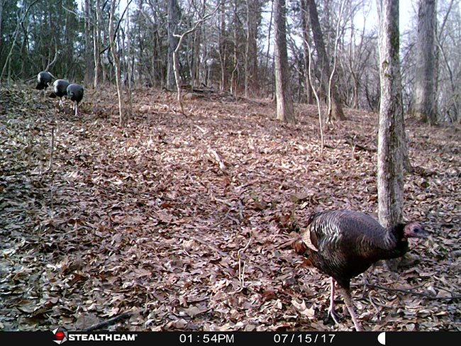 Turkeys on the trail