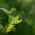 Black swallowtail larvae eating dill