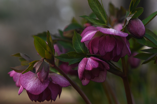Helleborus orientalis unnamed double purple