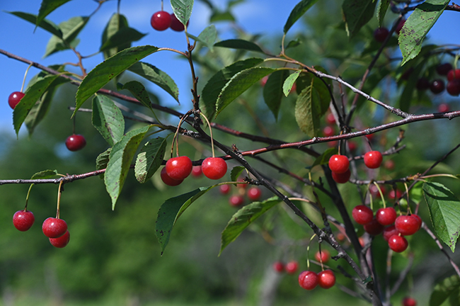 Ballantine Cherries on tree