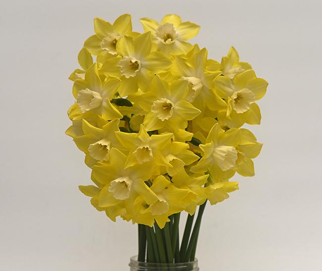 Daffodil 'Pipit'