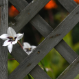 Acidanthera through gate