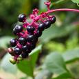 Phytolacca americana or pokeberry