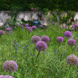 Allium 'Gladiator' in grass at Chanticleer