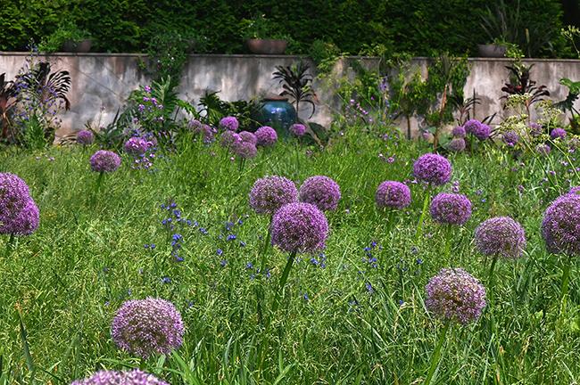 Allium 'Gladiator' in grass at Chanticleer