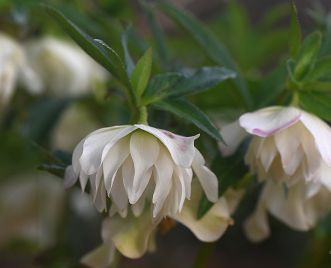 Helleborus orientalis unnamed double white