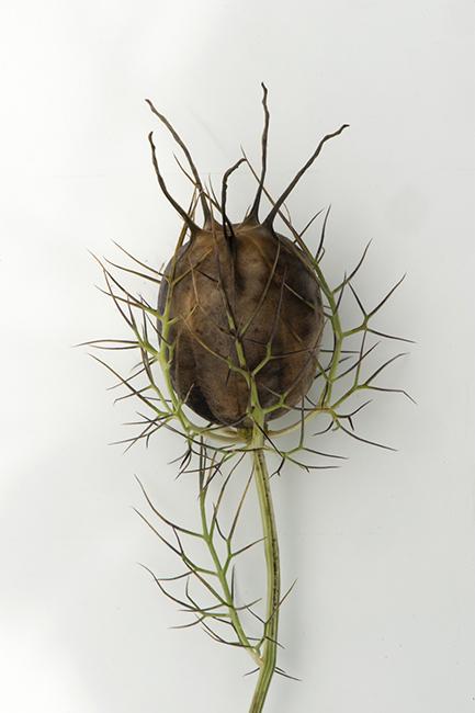 Nigella seed pod
