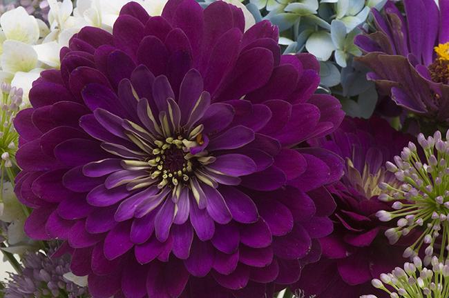 Flower arrangement with Zinnia 'Benary Giant Wine'