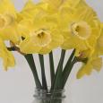 Daffodil 'Altun Ha' in a vase