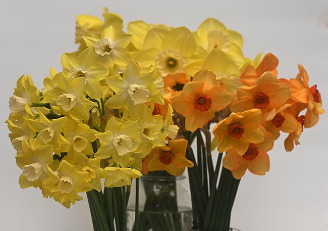 Daffodils Pipit Ambergate and Altun Ha