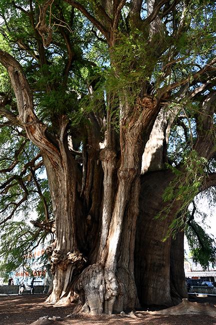 The Tule tree