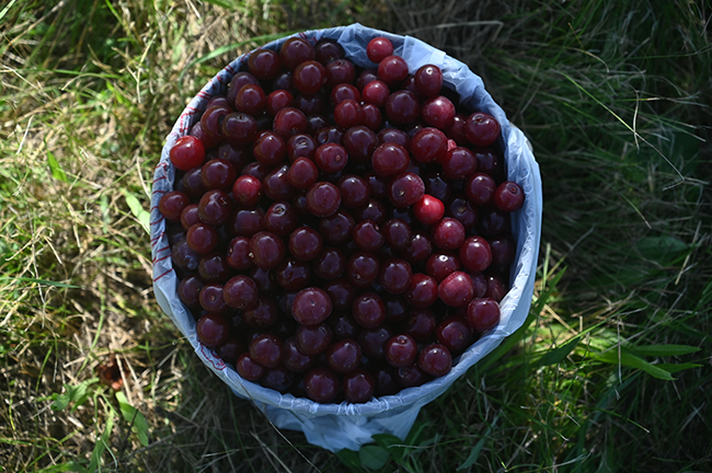 Ballantine Cherries in a bucket