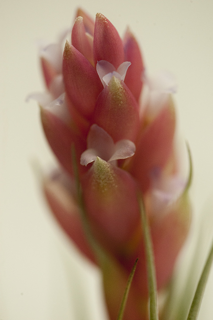 Tillandsia stricta flower