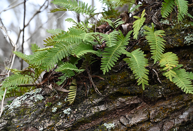 Resurrection fern or Pleopeltis polypodius