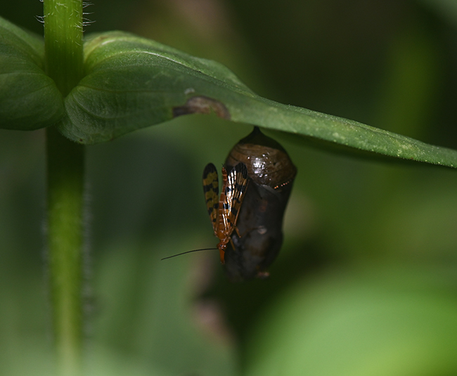 Unknown insect on monarch chrysalis