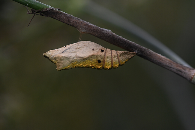 Two holes in black swallowtail chrysalis