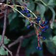 Berries on Virginia creeper