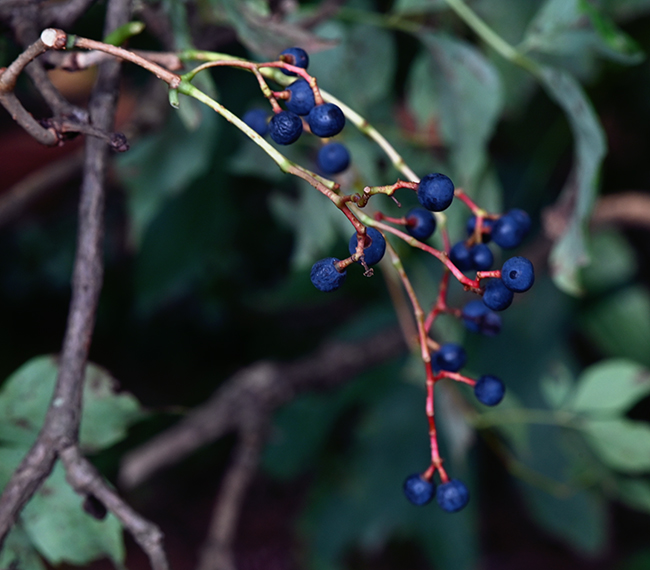 Berries on Virginia creeper