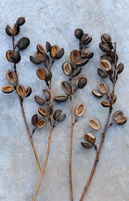 Round baptisia seed  (1)