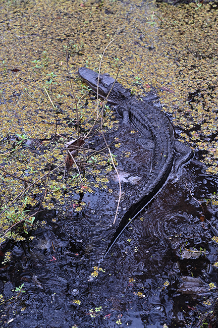 Alligator at Lake Barataria
