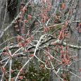 Maple flowering with Spanish moss