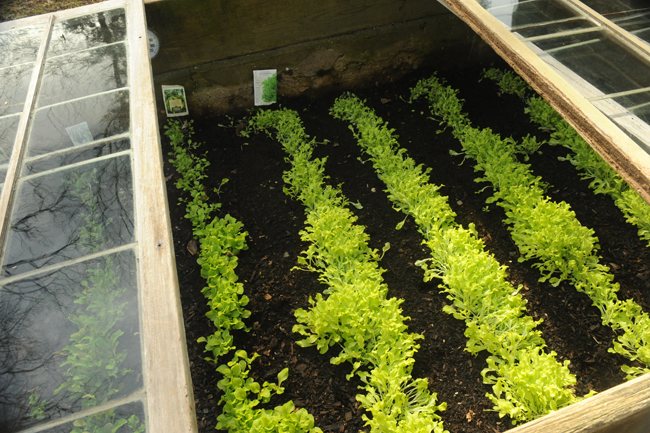 Cold frames with lettuce
