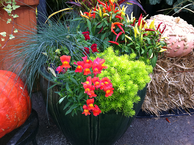 Fall container with festuca and snapdragons for show