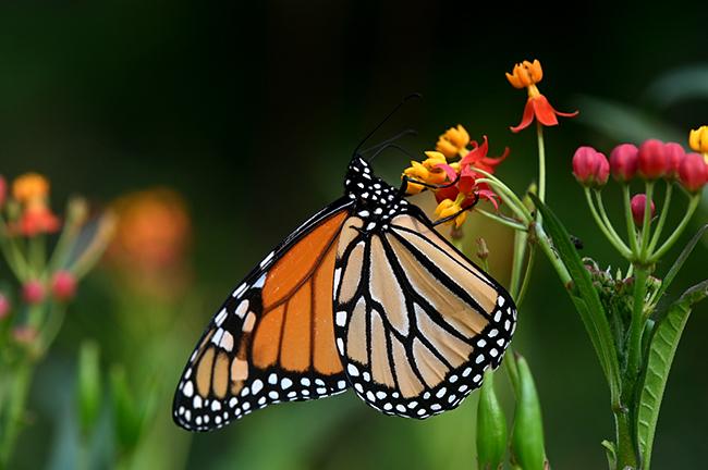 Monarch on milkweed1