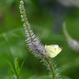 Veronicastrum 'Fascination' with white sulphur moth