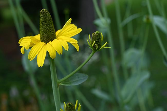 Rudbeckia maxima 1