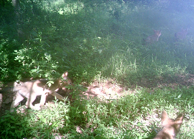 Coyote or fox pups