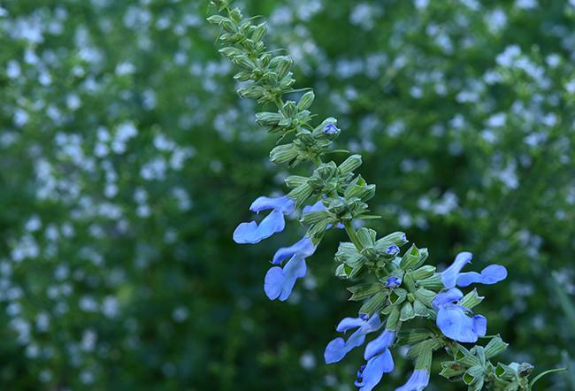 Salvia azurea 'Nekan' with Calamintha 'Montrose White'