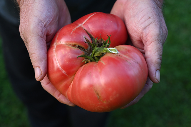 Tomato 'Big Brandy' 2 lb
