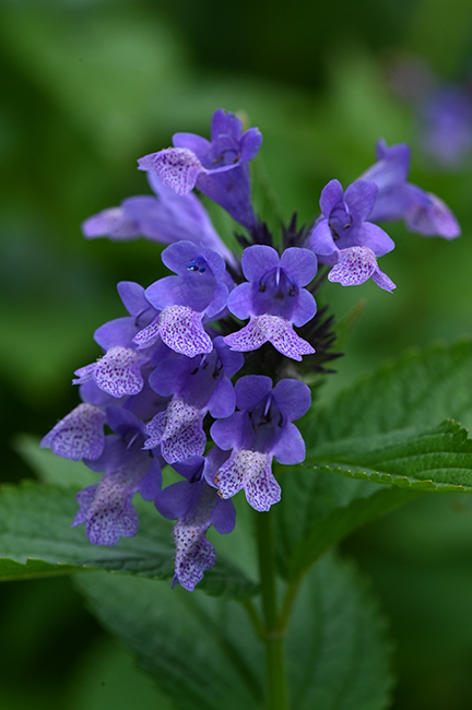 Nepeta subsessilis 'Blue Prelude'