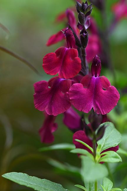 Salvia greggii 'Burgundy Seduction'