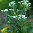Parthenium integrifolium or wild quinine