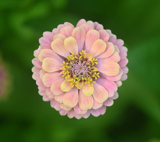 Zinnia 'Queen Lime with Blush' 4