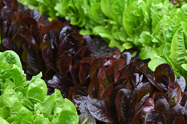 Lettuce miniature romaine 'Truchas' and 'Dragoon'