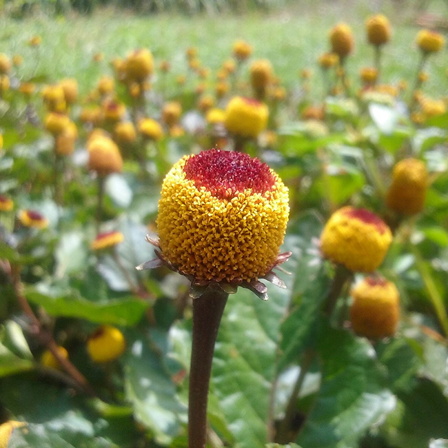 Acmella or toothache plant