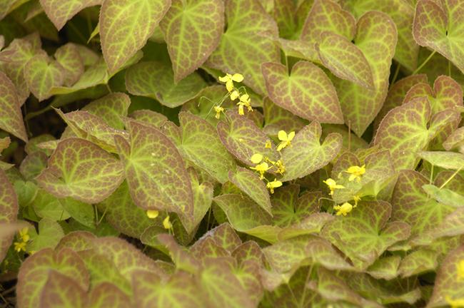 Epimedium sulphureum foliage