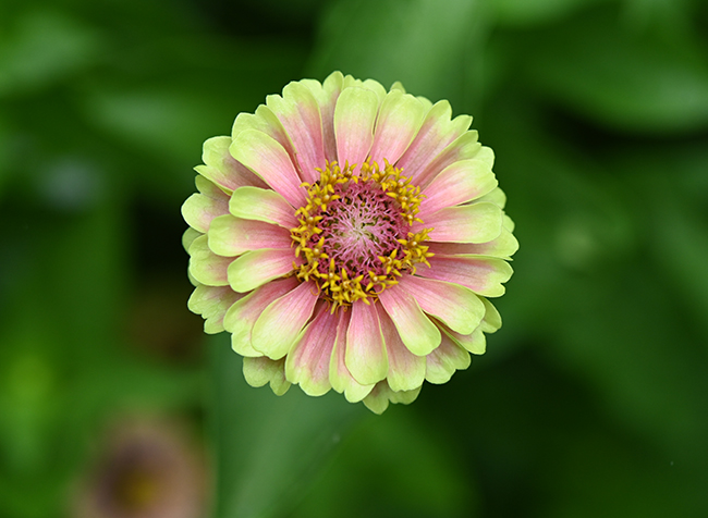 Zinnia 'Queen Lime with Blush' 2