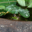 Green frog in water bowl