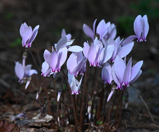 Cyclamen hederifolium clump