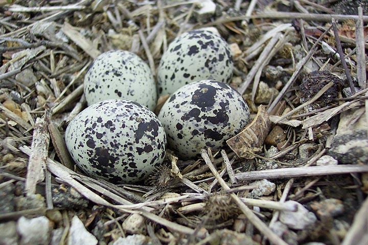Killdeer eggs 1