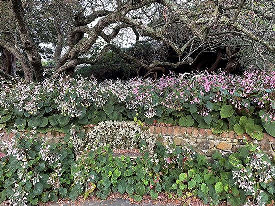 Oak Hill and hardy begonia