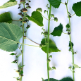 Fatoua villosa or mulberry weed