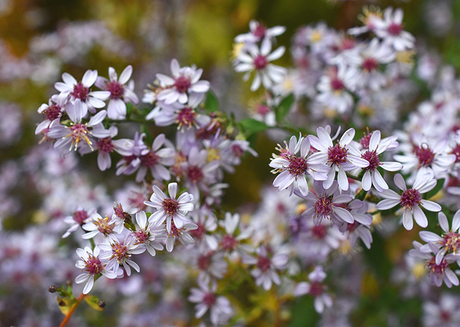 Aster cordifolius close